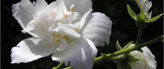 Китайская легенда о хризантеме – Сказки о цветах, легенды и притчи о природе, восточные истории