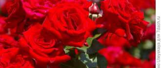Виды и сорта роз. Современные садовые розы (Modern Garden Roses)