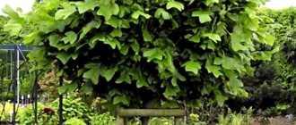 Тюльпанное дерево, или Лириодендрон тюльпановый – Декоративно цветущие кустарники и деревья