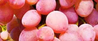 Кишмиш Лучистый (Кардинал х Кишмиш розовый). Сорта винограда и гибриды