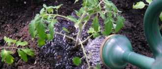 Полив помидоров в теплице: как часто поливать, рекомендации