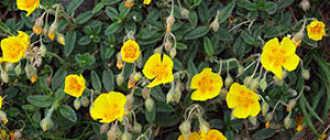 Солнцецвет никогда не отличался пышным цветением. Это такой сорт или реакция на условия выращивания?