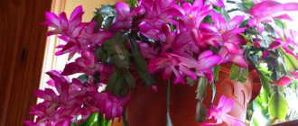 Фото-урок по размножению зигокактуса (декабрист) – Комнатные цветы и растения