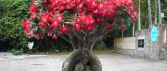 Листья адениума растут вниз. Особенности сорта или ошибка в уходе?