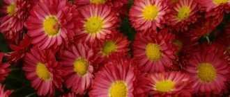 Посадка и выращивание садовых хризантем. Советы по уходу.