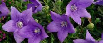 Платикодон крупноцветковый: сорта и виды, посадка и уход за платикодоном