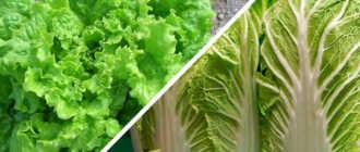 Как вырастить сочный салат латук на участке: рекомендации и фото