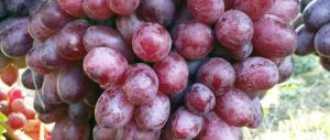 Сорт винограда Шоколадный. Синонимы: Марадонна красная, Тайфи устойчивый, ПГ-12