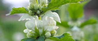 Яснотка белая, или глухая крапива – Лекарственные растения и травы