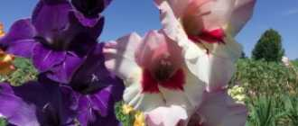 Летнецветущие луковичные и клубнелуковичные растения