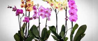 Выращивание орхидеи и уход. Реально ли в домашних условиях вырастить орхидею?