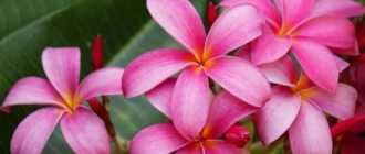 Франжипани (Плюмерия): выращивание в домашних условиях из семян и черенков