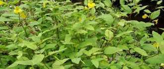 Недотрога обыкновенная, или бальзамин лесной – Лекарственные растения и травы