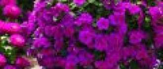 Барвинок розовый в доме и саду: катарантус и компания