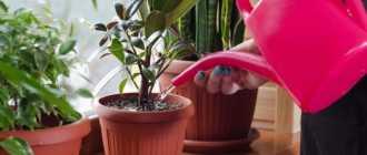 Особенности выращивания и уход за комнатными растениями: освещение, полив, влажность
