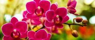 Знакомство с орхидеями. Из истории Орхидеи – Комнатные цветы и растения