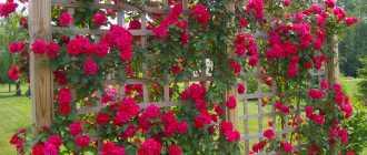 Плетистые розы – сорта, описание и фото. Садовые цветы и растения