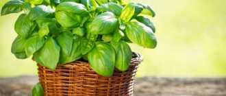Как вырастить фиолетовый базилик и другие специи для вкусной клумбы