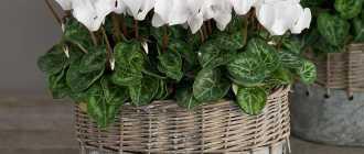 Почему желтеют листья у комнатных растений: причины и советы что делать