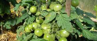 7 советов по выращиванию корнеплодов: рекомендации и фото