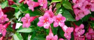 Вейгела: описание и фото – Декоративно цветущие кустарники и деревья