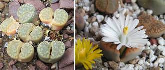 Литопсы: живые камни