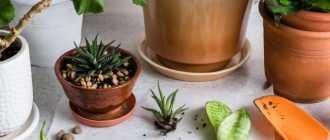 Деление куста и отделение отростков – Размножение комнатных растений