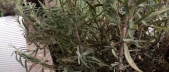 Получится ли восстановить нормальный вид лаванды после того, как ее долго выращивали в тени?