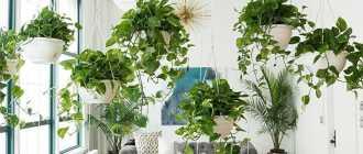 Вьющиеся ампельные цветы и растения в интерьере