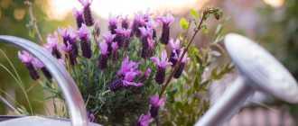 Как вырастить лаванду в саду: советы и фото