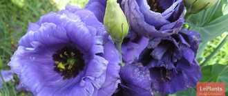 Семена эустомы растворились в грунте! Они очень мелкие или это обман производителя?