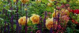 Удачное соседство для ваших роз: какие растения стоит посадить рядом? Фото и советы