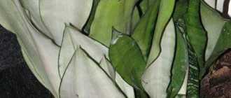 Почему желтеют отдельные листья и даже целые молодые растения сансевьеры?