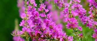 Дербенник иволистый, или плакун-трава – Лекарственные растения и травы