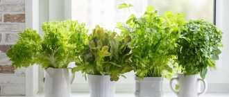 Есть ли смысл пересаживать зелень в тару большего объёма?