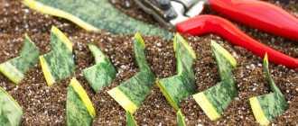 Черенкование комнатных растений. Размножение растений стеблевыми черенками