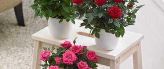 Как ухаживать за комнатной розой. Размножение и уход за домашними розами