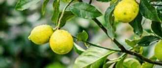 Уход за лимонным деревом в домашних условиях: 3 совершённых ошибки и 3 рекомендации