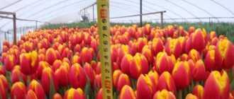 Выращивание тюльпанов в саду: что не нужно делать, несколько историй из личного опыта.