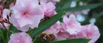Почему олеандр сушит листья и при этом растит молодые веточки? Чего ему не хватает?