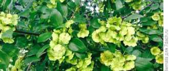 Держи-дерево, или Палиурус, Христовы тернии, терновый венец – Лекарственные растения и травы