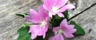 Лаватера Тюренгенская – идеальный цветок или злостный сорняк? Стоит ли пускать хатьму на огород?