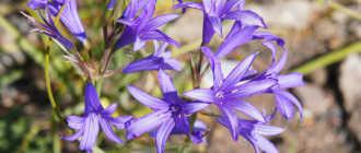 Тюльпаномания – Луковичные и клубнелуковичные растения