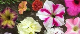 10 самых красивых видов петуний для вашего сада