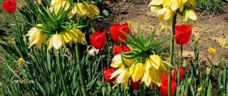 Луковичные растения весной. Планируйте весну осенью!