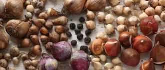 Типы луковиц – Луковичные и клубнелуковичные растения