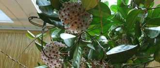 Хойя – цветущая лиана, восковой плющ – Комнатные растения цветы хойи