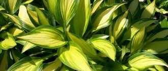 Florets.ru / Садовые растения растущие в тени
