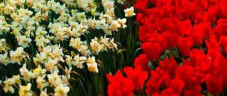 Праздники Нидерландов. Парк цветов Кёкенхоф (Keukenhof)