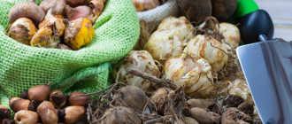Выращивание луковичных растений, посадка и уход – Луковичные и клубнелуковичные